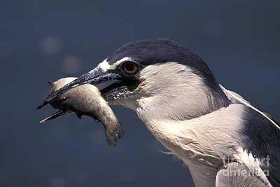 Photograph - Night Heron With Lunch by Stan and Anne Foster