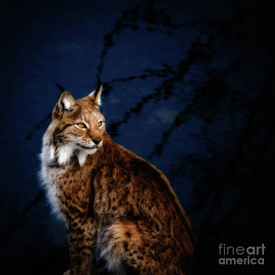 Photograph - Night Lynx by Robin Zygelman