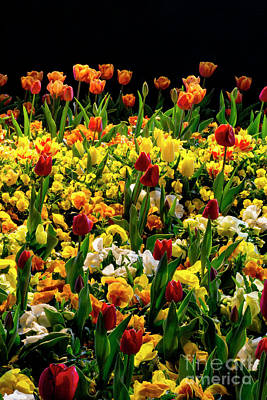 Photograph - Night Tulips by Angela DeFrias