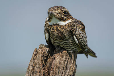Photograph - Nighthawk by Scott Bean