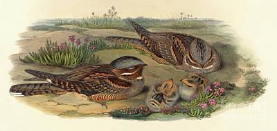 Nightjar Art Print by John Gould