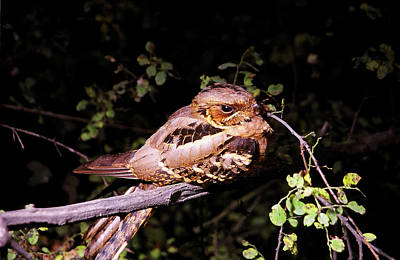 Photograph - Nightjar by Manjot Singh Sachdeva