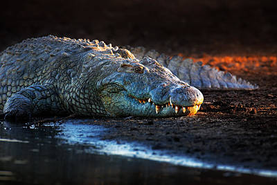 Head And Shoulders Photograph - Nile Crocodile On Riverbank-1 by Johan Swanepoel