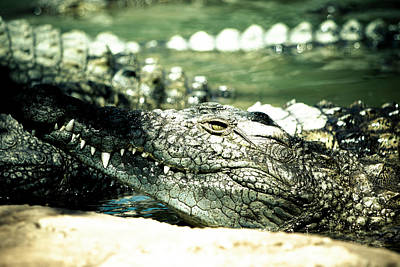 Photograph - Nile Crocodile by Petrus Bester