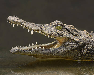 Photograph - Nile Crocodile by Tony Beck