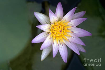 Photograph - Nile: Water Lily by Granger