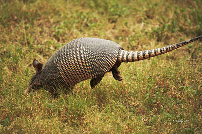 Nine-banded Armadillo Jumping Art Print