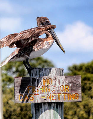 Photograph - No Fishing Baby Pelican by Tracey R Gates