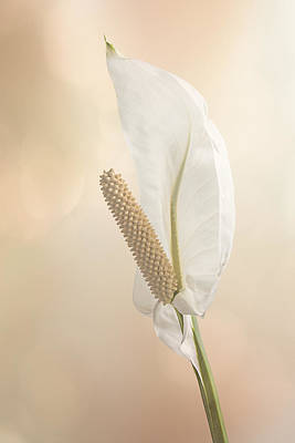 Peach Lilly Photograph - Peace Lily 2.1 by Patti Deters