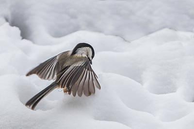 Chickadee - Wings At Work Art Print