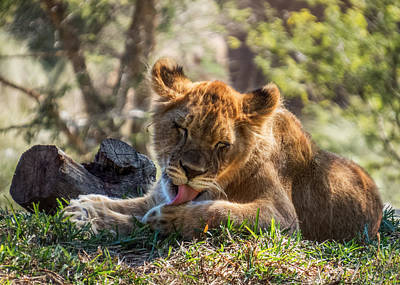 Photograph - Lion Cub Lick by Patti Deters