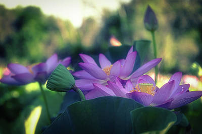 Photograph - No Mud, No Lotus by Cindy Lark Hartman