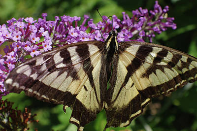 Photograph - No Tail Swallowtail by Adria Trail