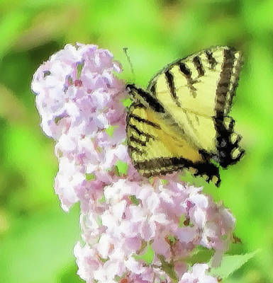 Photograph - No Tail Swallowtail - Butterfly by MTBobbins Photography