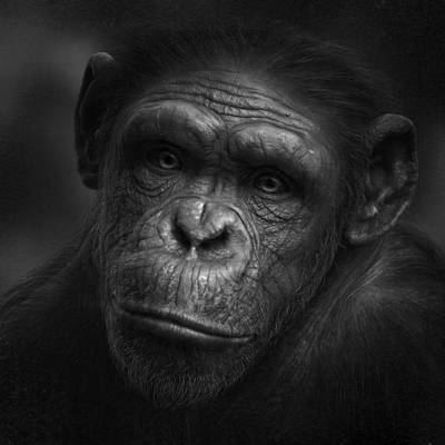 Ape Wall Art - Photograph - No Words by Holger Droste