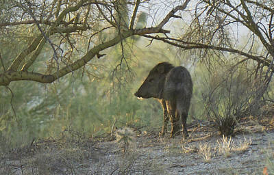 Photograph - Noble Javelina by Charlie Alolkoy