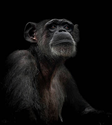 Ape Wall Art - Photograph - Noble by Paul Neville