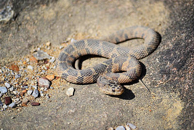 Photograph - Noccalula Falls Snake - Alabama by rd Erickson