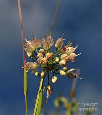 Photograph - Nodding Onion by Ann E Robson