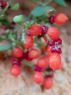 Photograph - Nodding Saltbush 2 - Einadia Nutans by Elena Schaelike