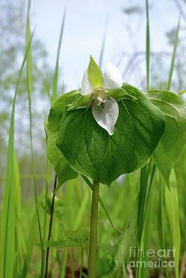 Photograph - Nodding Trillium by Sandra Updyke