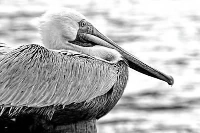 Photograph - Noir Pelican by Alice Gipson