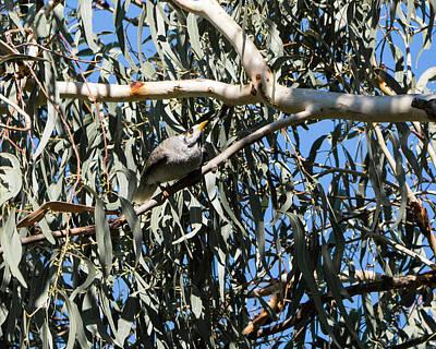 Photograph - Noisy Miner Bird 1 - Canberra - Australia by Steven Ralser