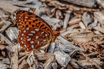 Photograph - Nokomis Fritillary Butterfly by Grace Grogan