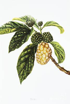 Noni Fruit Art Art Print by Hawaiian Legacy Archive - Printscapes