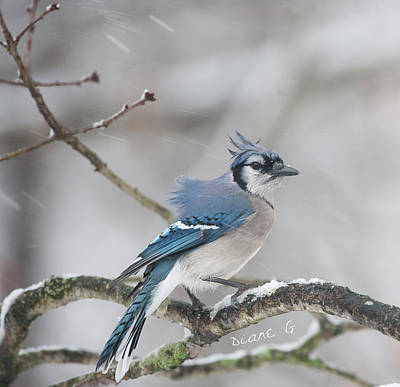 Nor' Easter Blue Jay Art Print