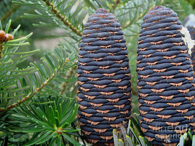 Photograph - Nordmann Fir Cones by Yvonne Johnstone