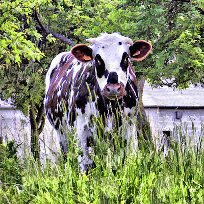 Photograph - Cow - Normande by Nikolyn McDonald