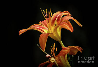 Photograph - Norris Lake Daylily by Douglas Stucky