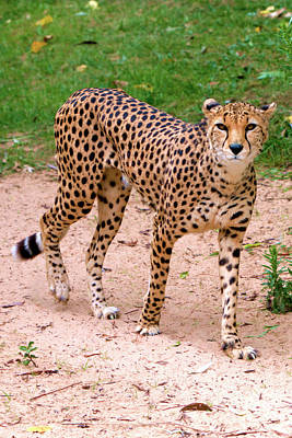 Photograph - North African Cheetah by Baggieoldboy