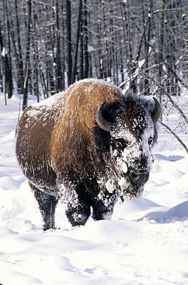 North America Bison Print by Inga Spence