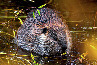 Photograph - North American Beaver by Marilyn Burton