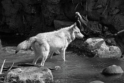 Photograph - North American Grey Wolf by Aidan Moran