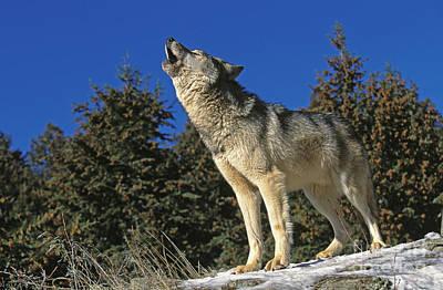 North American Grey Wolf Art Print by Gerard Lacz
