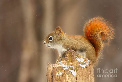 North American Red Squirrel In Winter Art Print