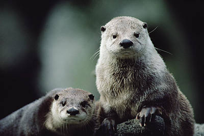 Otter Photograph - North American River Otter Lontra by Gerry Ellis