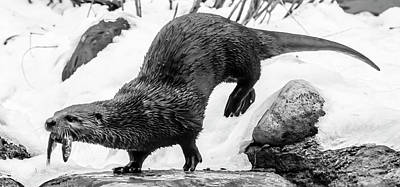Photograph - North American River Otter On The Move by Tracy Winter