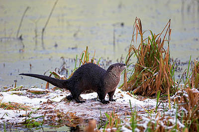 Photograph - North American River Otter by Sharon Talson