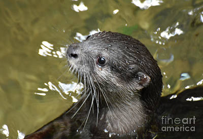 North American River Otter Swimming In A River Art Print