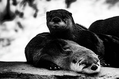 Photograph - North American River Otters  by Tracy Winter