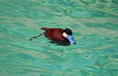 Photograph - North American Ruddy Duck I by Michiale Schneider