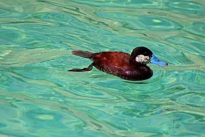 Photograph - North American Ruddy Duck II by Michiale Schneider
