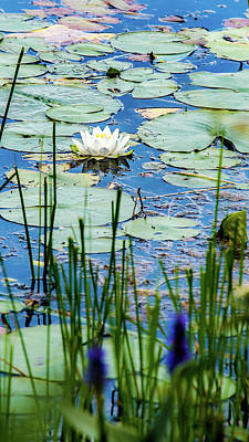 Photograph - North American White Water Lily by Onyonet  Photo Studios