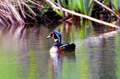 Photograph - North Bound Wood Duck by Kathy Kelly