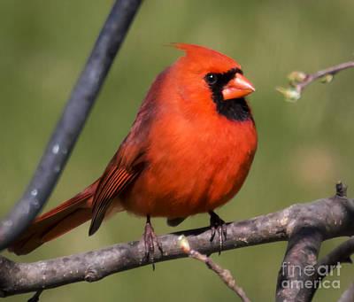 Birds Photograph - North Cardinal by Ricky L Jones
