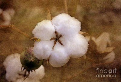 North Carolina Cotton Boll Art Print by Benanne Stiens